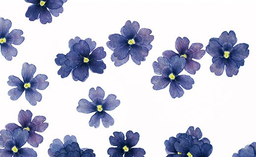 Dried blue verbena edible flowers - Neworks