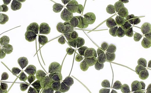 Dried edible four-lef clover - Neworks